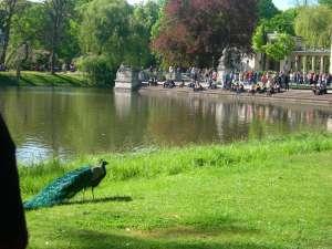 Ein Pfau im Lazienki-Park - keine Seltenheite, die Vögel leben dort.