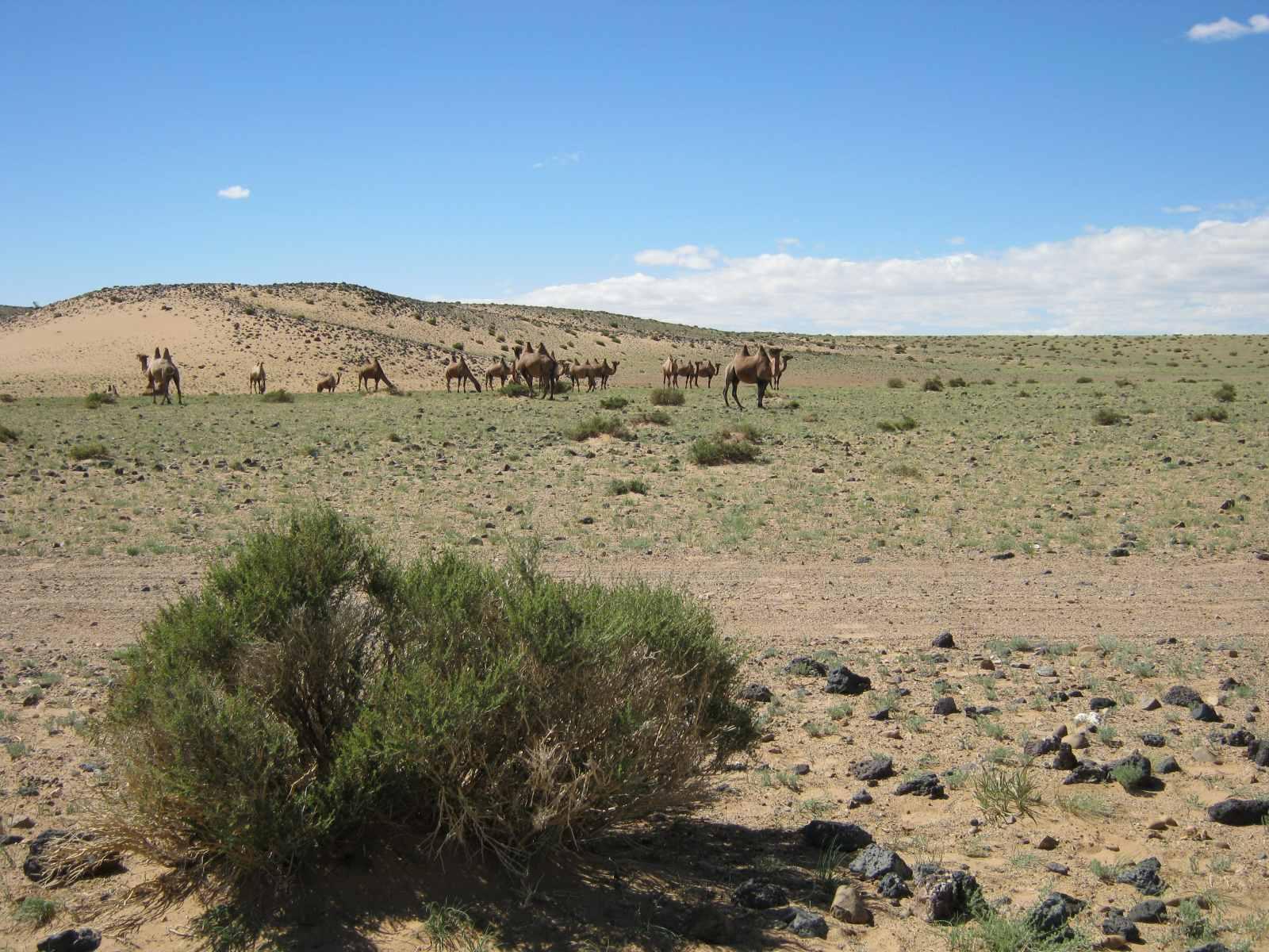 Die ersten Kamele kreuzen den Weg – die Wüste ist nicht mehr weit