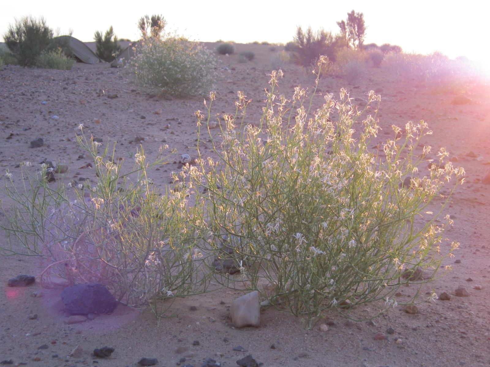 Die Typische Vegetation der Wüste Gobi im Morgenlicht
