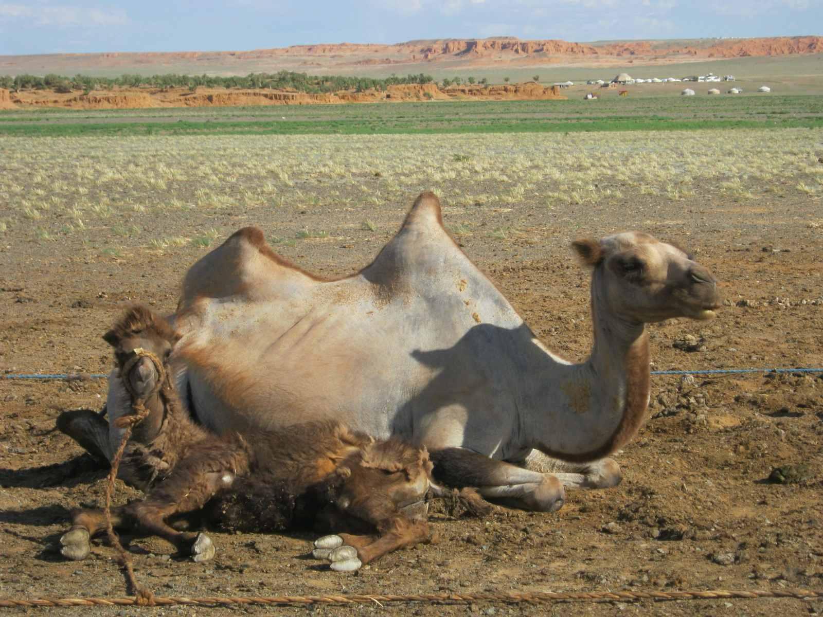 Kamele sind das Kapital der Züchterfamilien in der Wüste Gobi