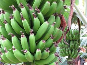 Bananenplantagen, soweit das Auge reicht