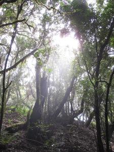 Der Lorbeerwald auf La Gomera. Vor der letzten Eiszeit bedeckte er weite Flächen Mitteleuropas.