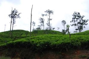 Hänge voller Teesträucher: Sri Lanka gilt als größter Tee-Exporteur der Welt.