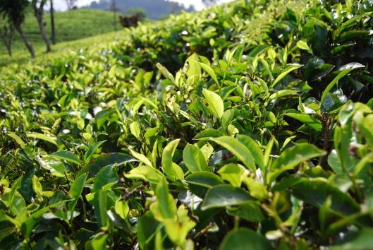Der Teestrauch ist seit 1840 auf der Insel im indischen Ozean heimisch – und hat sich seitdem gut ausgebreitet.